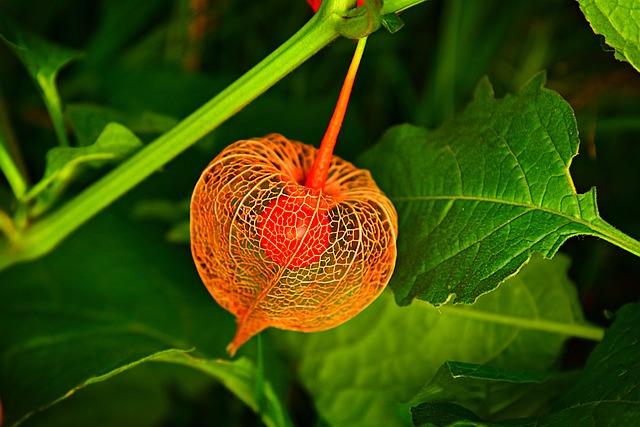 oranžová mochyně